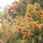 花粉症の主なアレルゲンの種類と飛散期間はいつ?