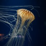 海水浴はいつまで?クラゲが出る時期と対策 刺されたらどうすればいい?